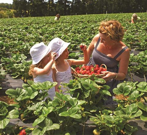Sunny Ridge Strawberry Farm