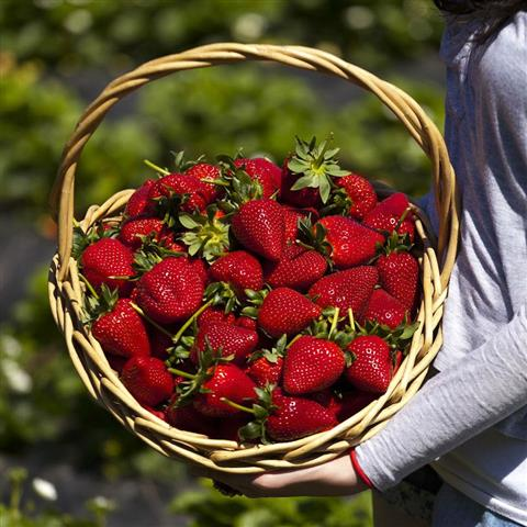 sunnyridge_strawberryfarm_basket2