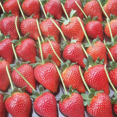 sunnyridge_strawberryfarm_longstem