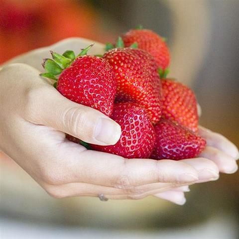 sunnyridge_strawberryfarm_season